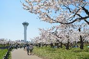 五稜郭的櫻花