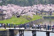 Cherry blossoms of Goryokaku