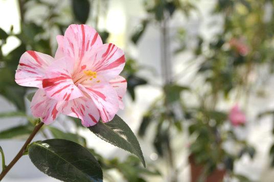 五稜郭タワー「春の椿展」