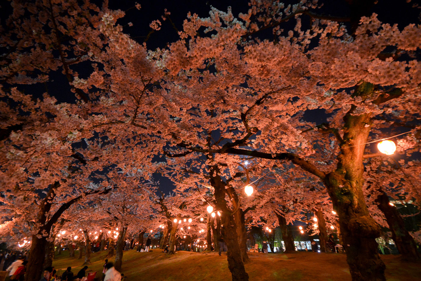Night Cherry Blossom Illumination at Goryokaku Park