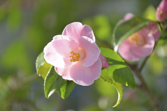 Spring Camellia Display at the Goryokaku Tower