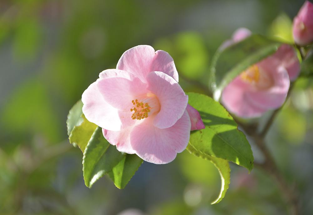 Spring Camellia Display at the Goryokaku Tower