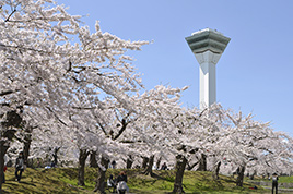 Today's cherry blossoms of Goryokaku  [Almost Fallen] (Updated regularly)